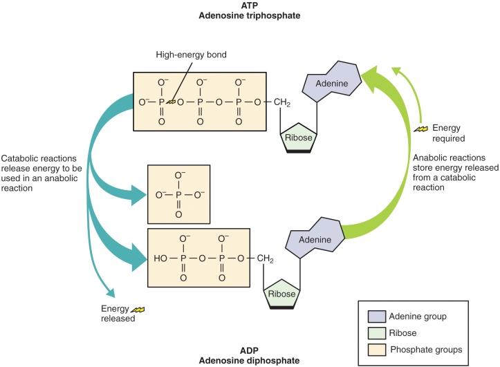 ATP, adenosínþrífosfat og virkni þess.